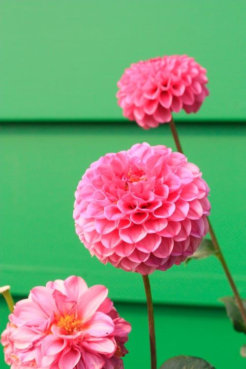 Безкоштовне стокове фото на тему «зростання, квіти, квітка, пелюстки»