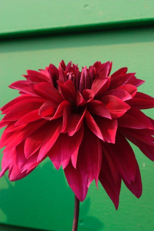 Gratis lagerfoto af blomst, blomster, dahlia, rød