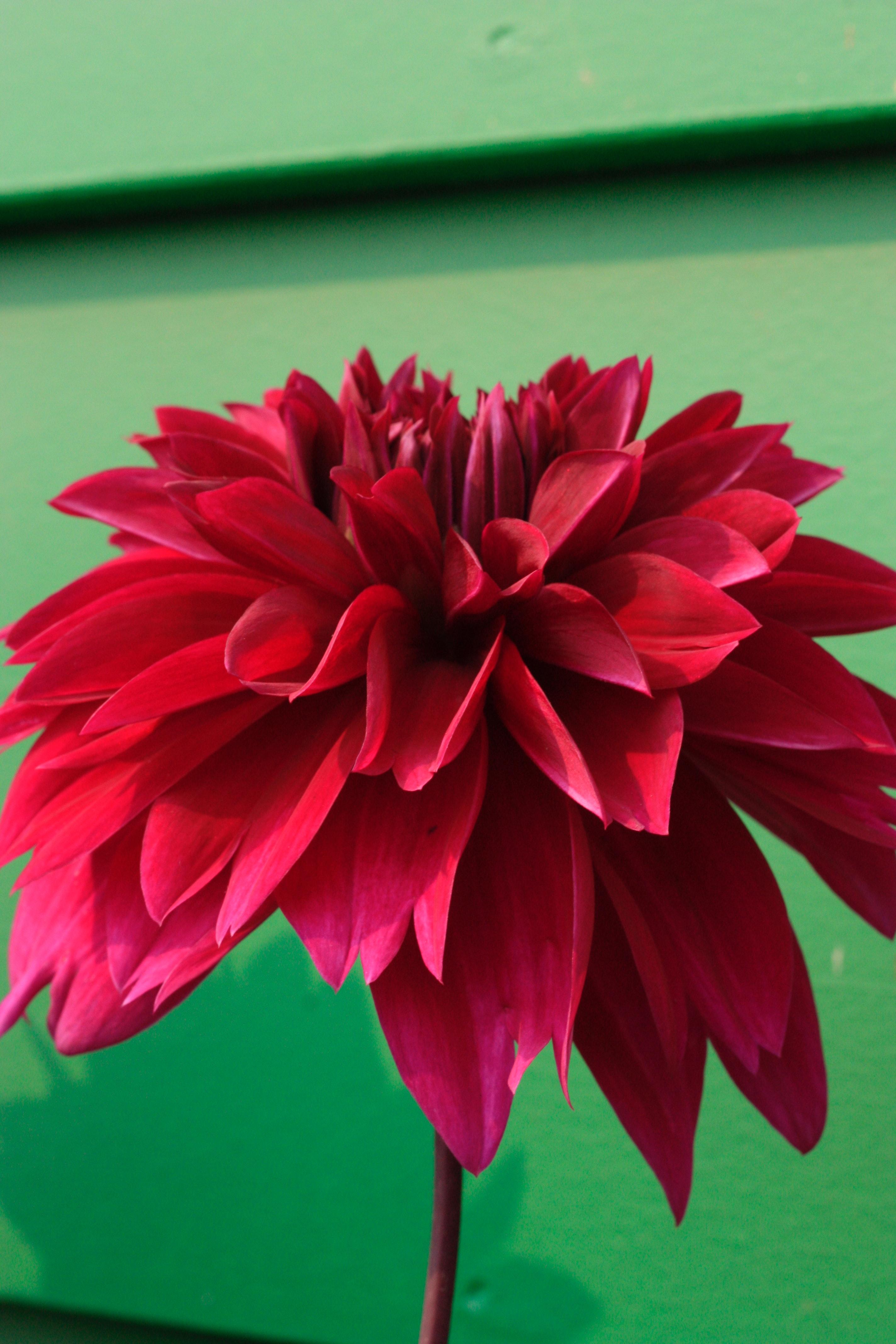 Wallpaper Bunga Dahlia Hd Kumpulan Gambar Bunga