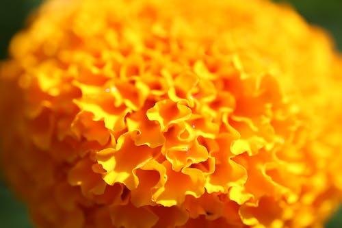 Δωρεάν στοκ φωτογραφιών με λουλούδι, όμορφα λουλούδια, πορτοκάλι, πορτοκαλί άνθος