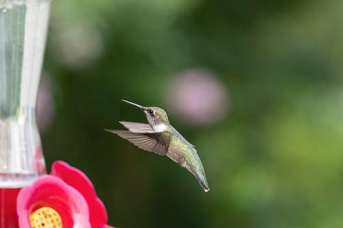 Fotos de stock gratuitas de al aire libre, animal, colibrí