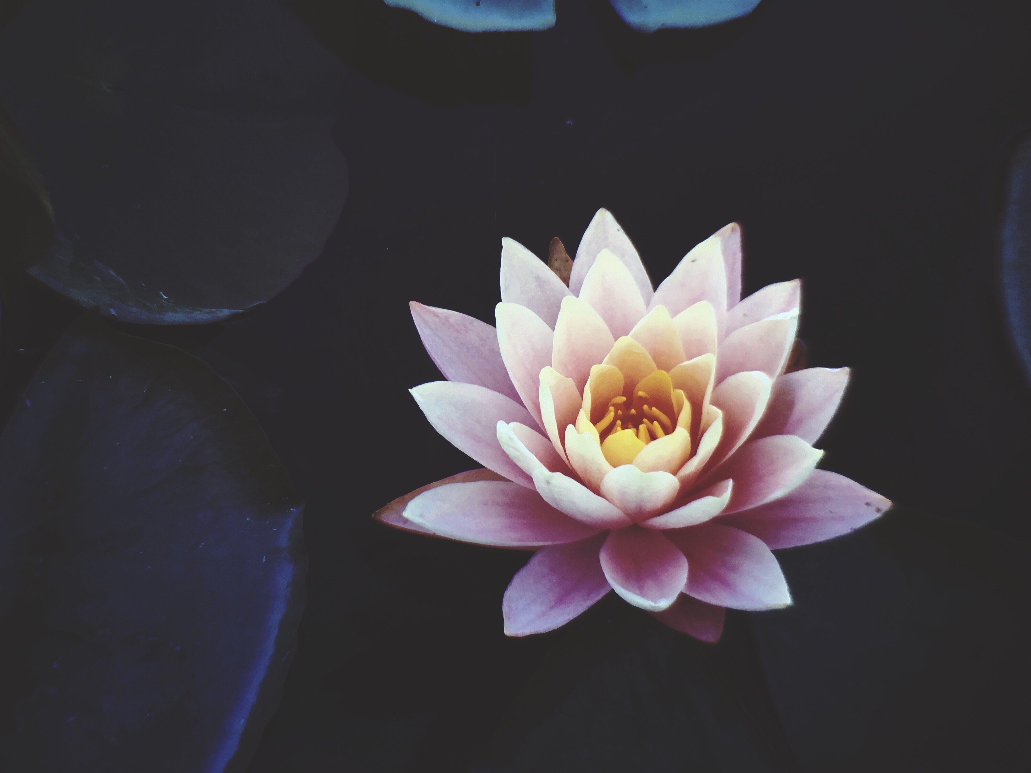 Pink Waterlily Flower in Full Bloom