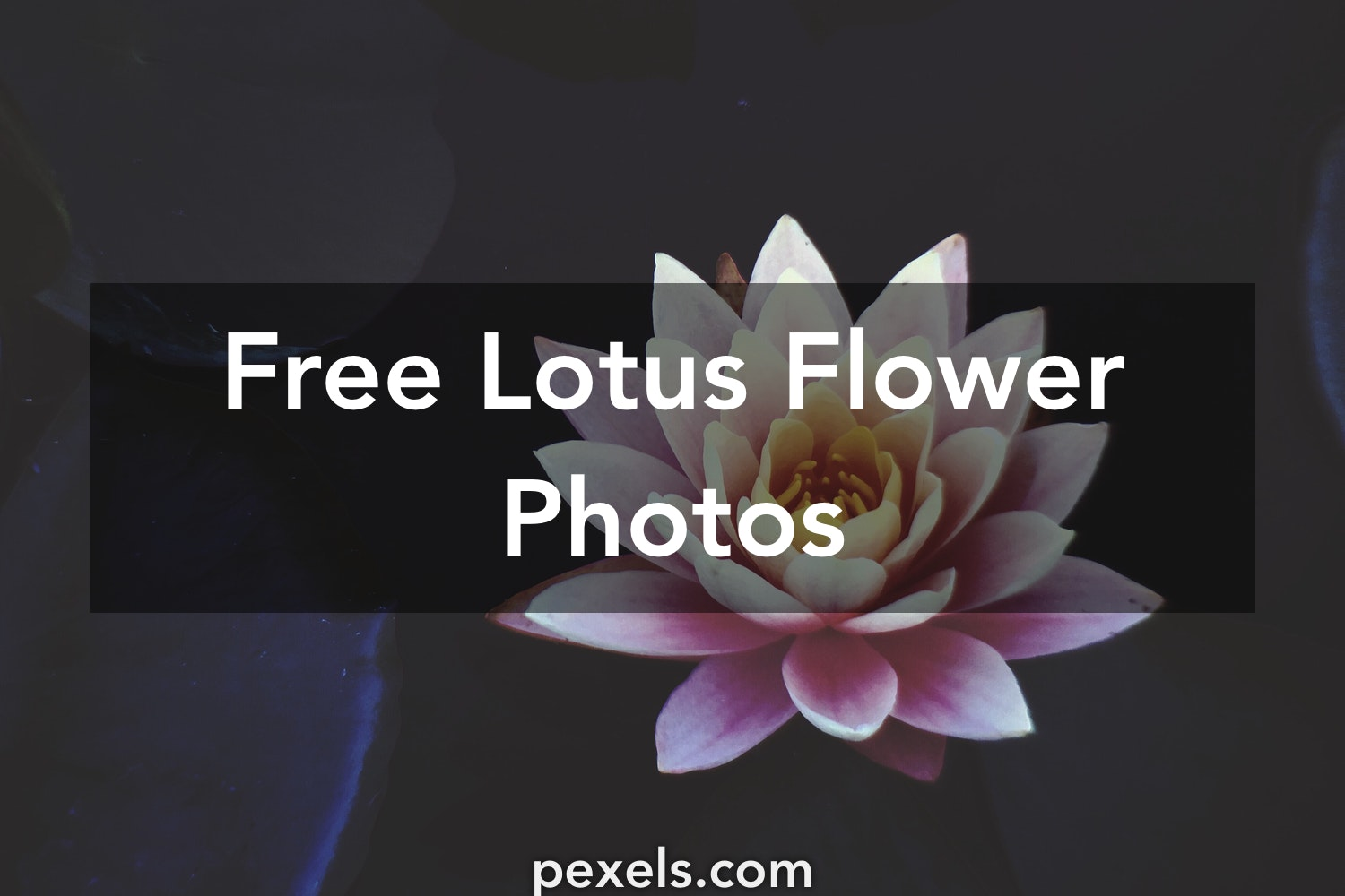 1000 beautiful lotus flower photos pexels free stock photos mightylinksfo