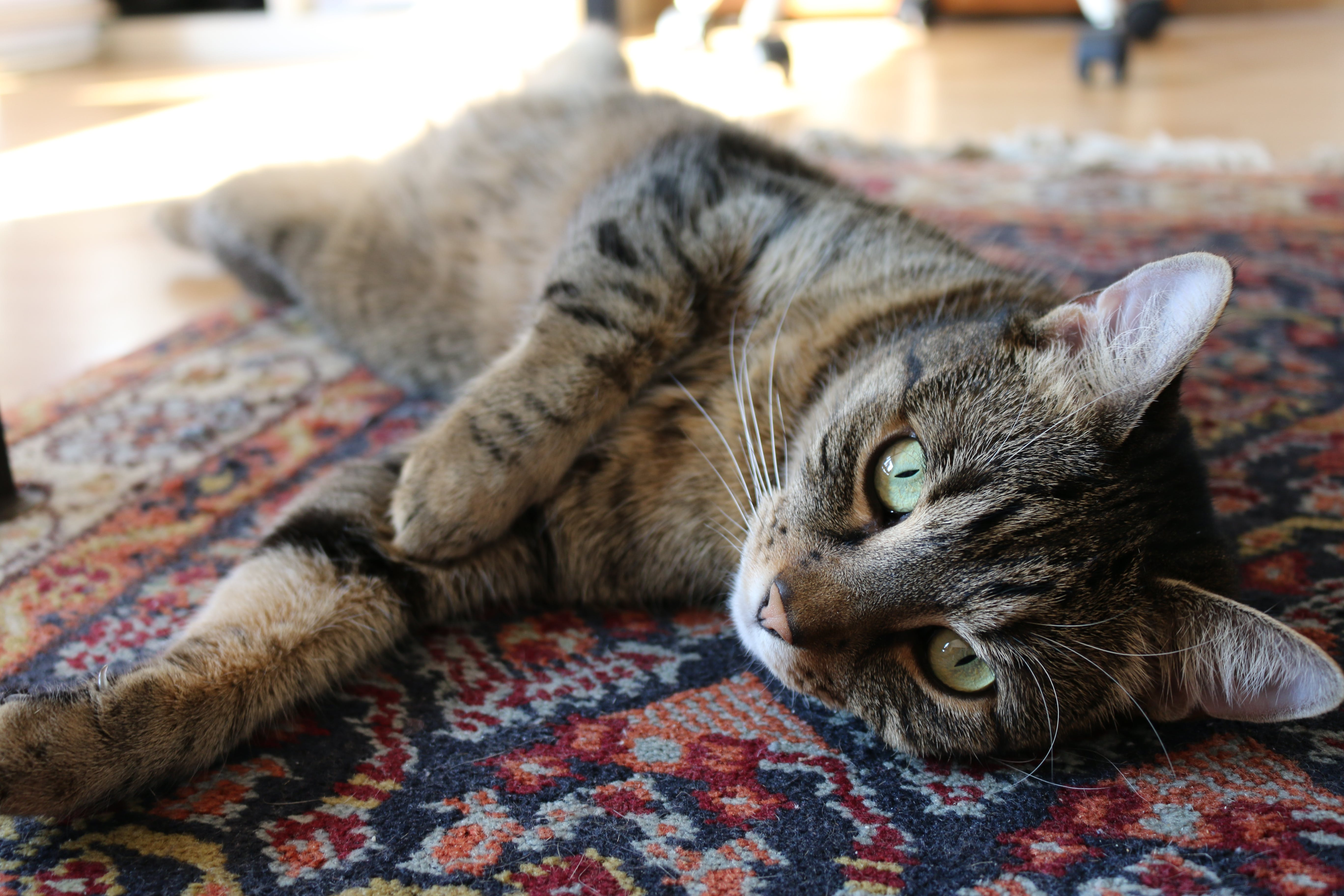 Brown Tabby Cat on Red and Blue Floral Carpet
