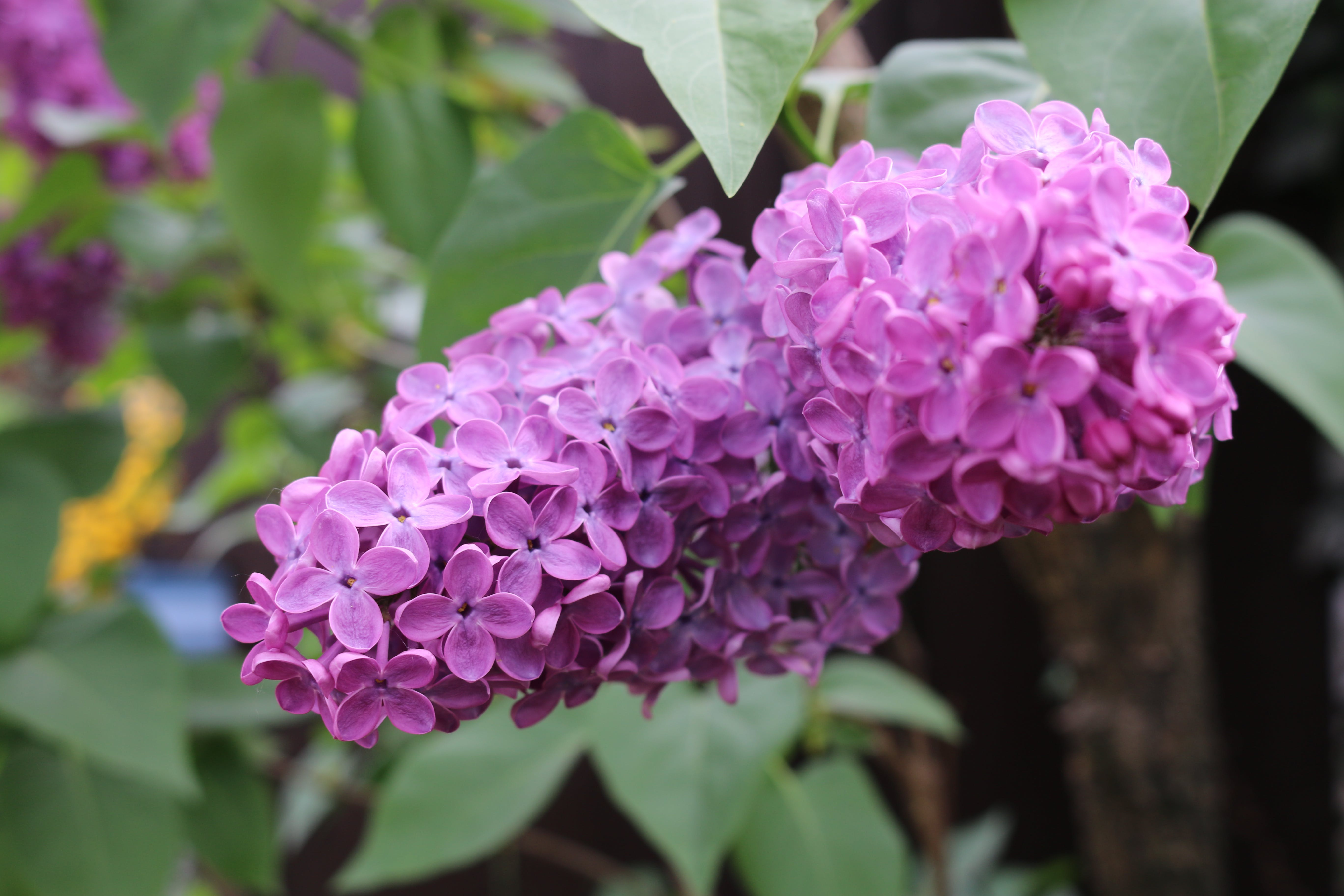 Free stock photo of flower, nature, plant, purple