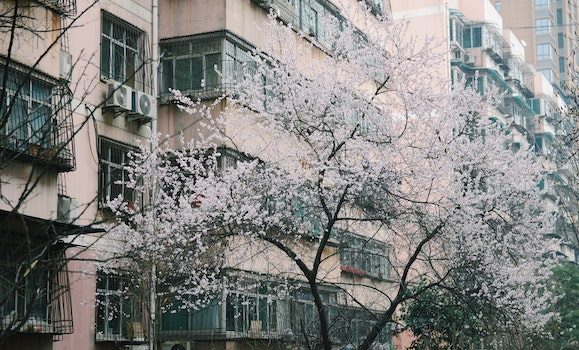 Tree With White Flowers Near Buildings