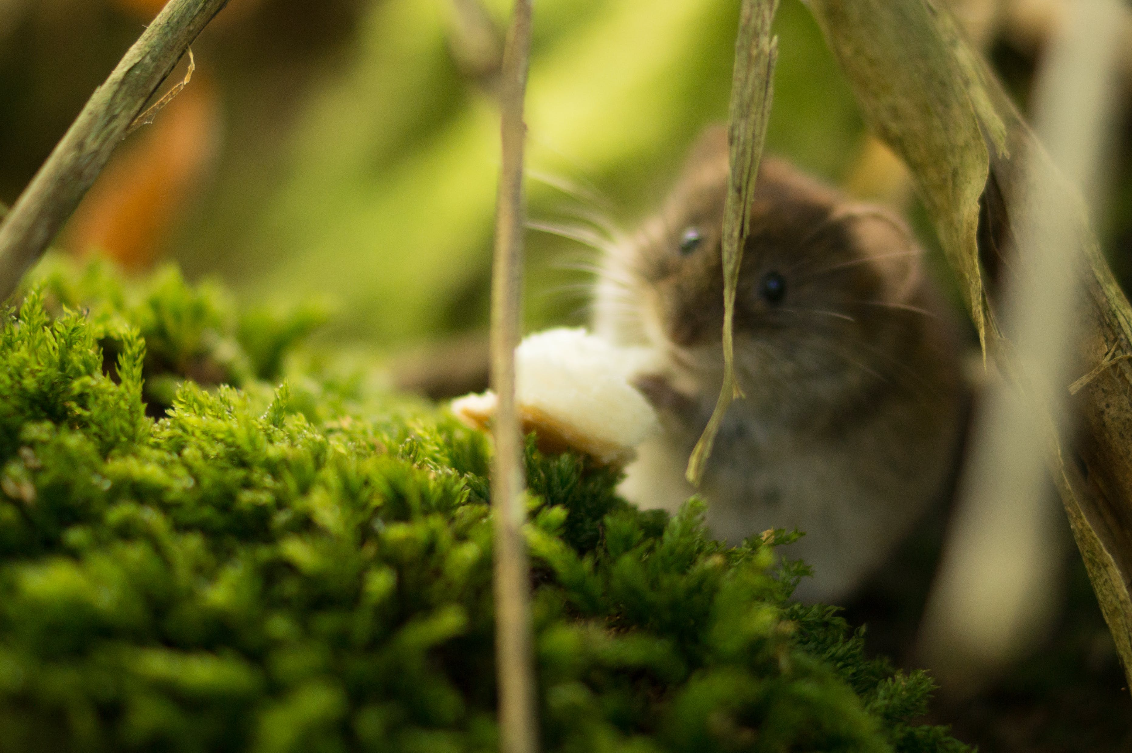 animal, fauna, hamster