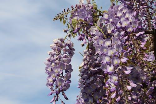 Free stock photo of flower, flowers, light purple