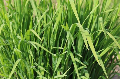 Free stock photo of fu, grass, green