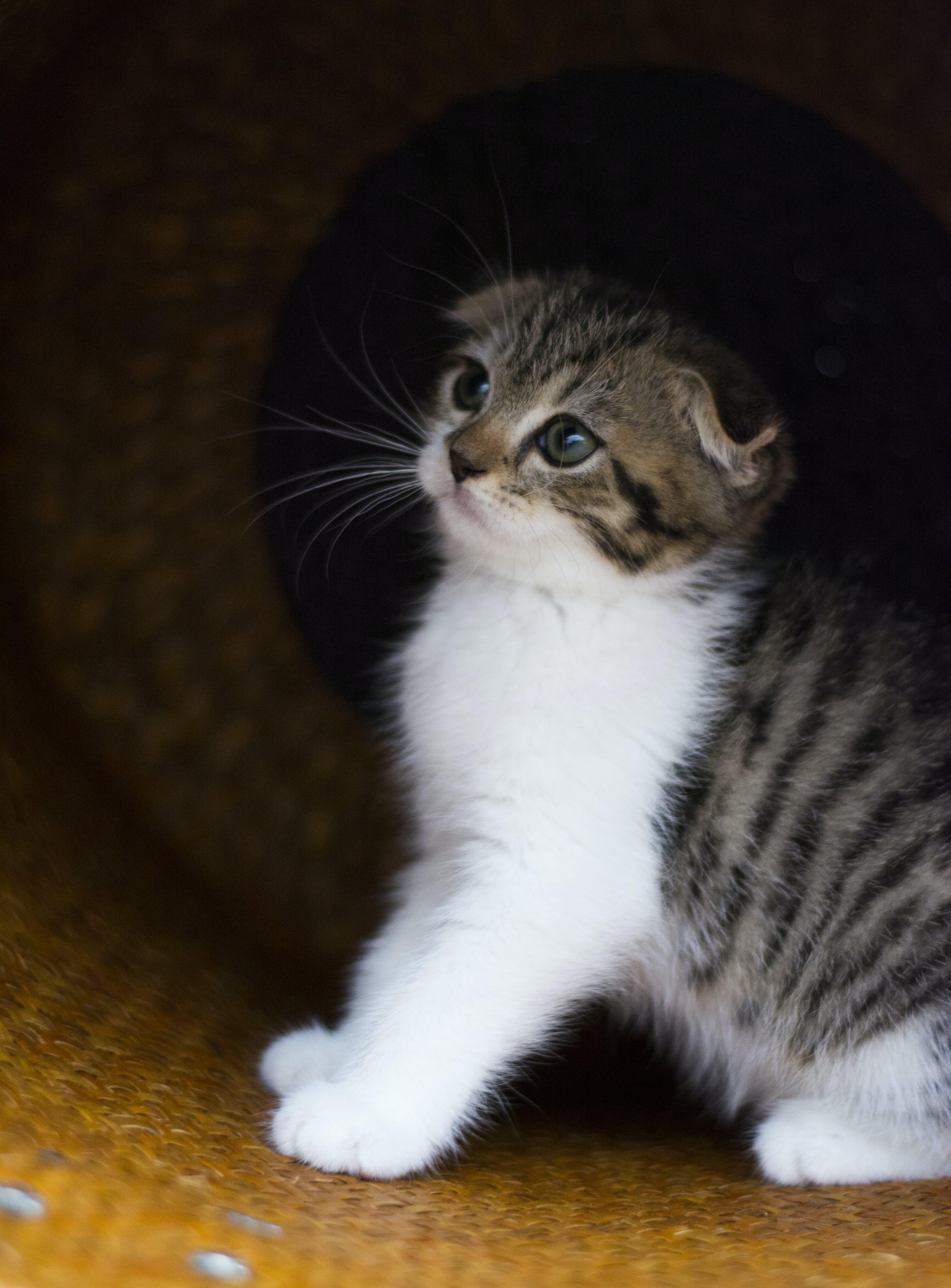 Free stock photo of animal, cat, Eye focus, feline