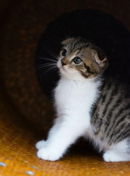 凝視, 動物, 室內貓, 小貓 的 免費圖庫相片