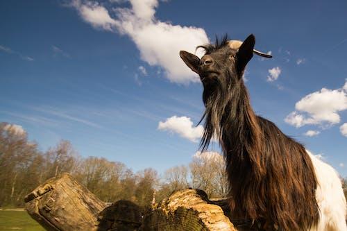 Black and White Goat Under Sunny Sky