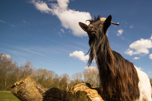 Free stock photo of animal, zoo, goat