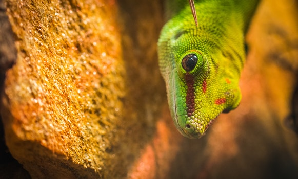 Micro Photography of a Gecko