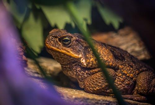 Δωρεάν στοκ φωτογραφιών με αμφίβιος, βάτραχος, βιολογία, γκρο πλαν
