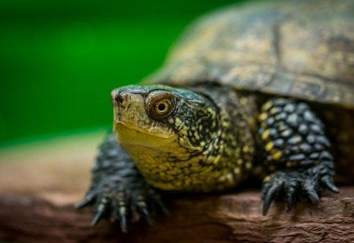 Free stock photo of animal, reptile, turtle