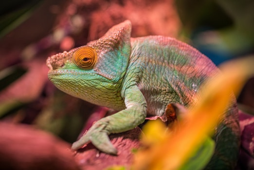 Green and Red Lizard