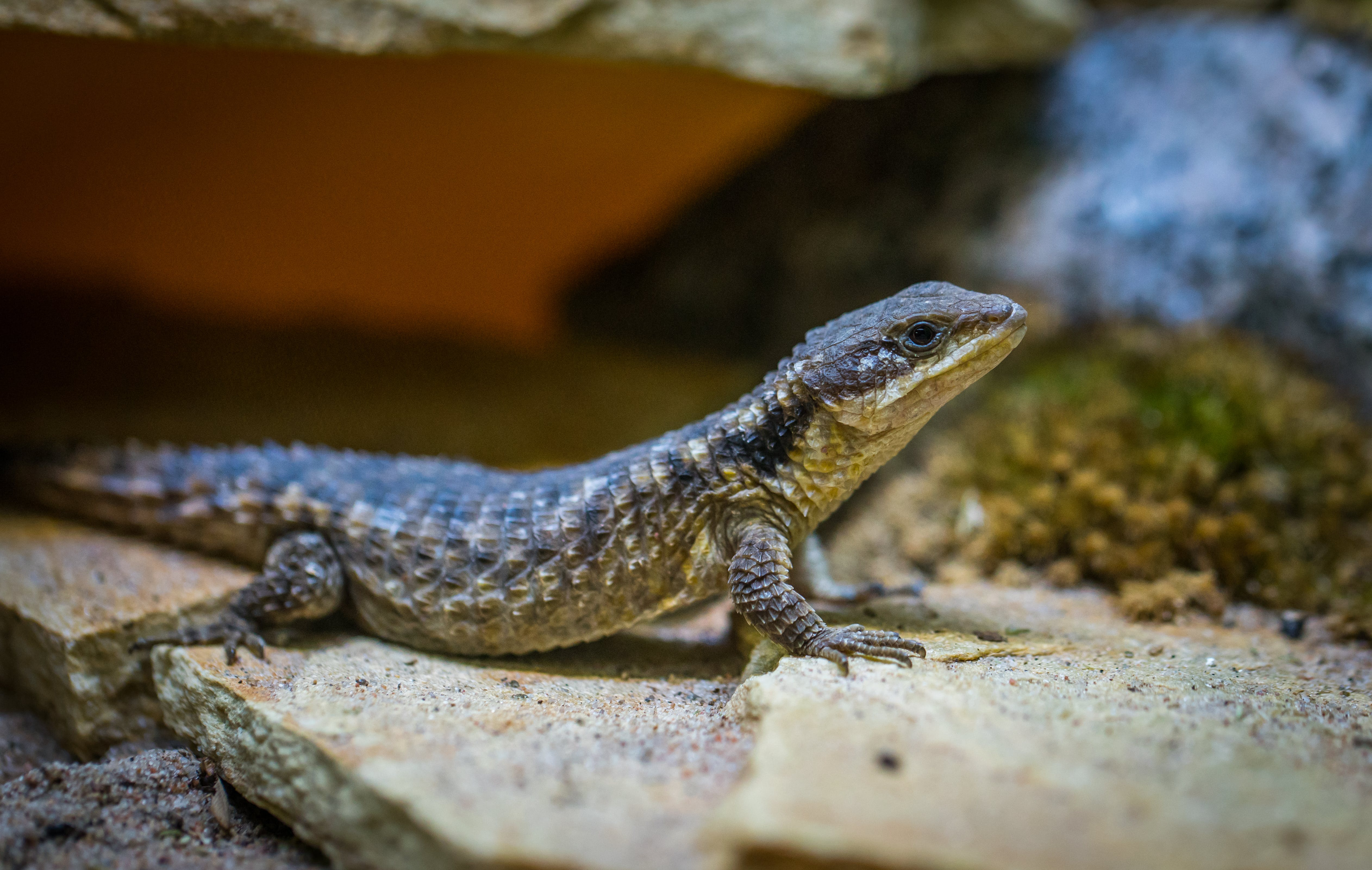 Selective Focus Photo of Black Lizard on Gray Surface