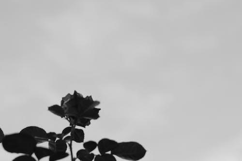Free stock photo of black and white, black roses, flower