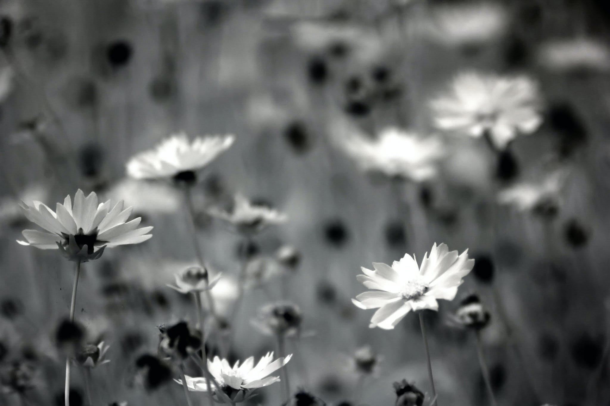 Grayscale Photography of Daisy Flowers