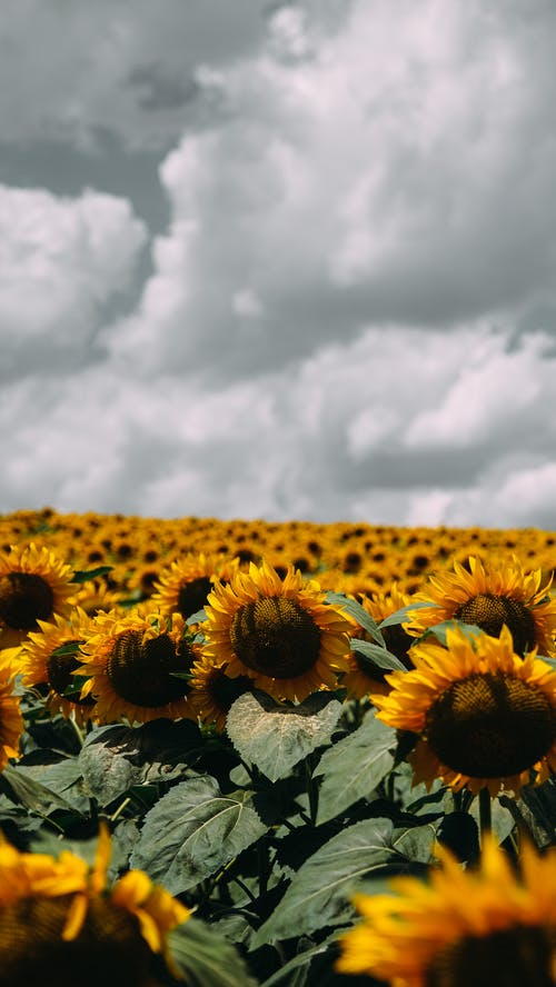 Sunflower Field on Bright Day