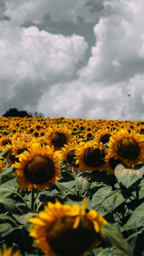 Sunflower Field Under Cloudy Sky