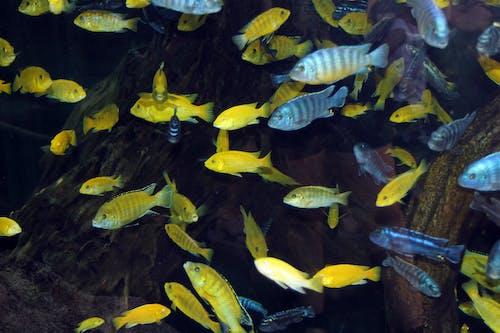Безкоштовне стокове фото на тему «жовта риба, Природа, риба, синя риба»