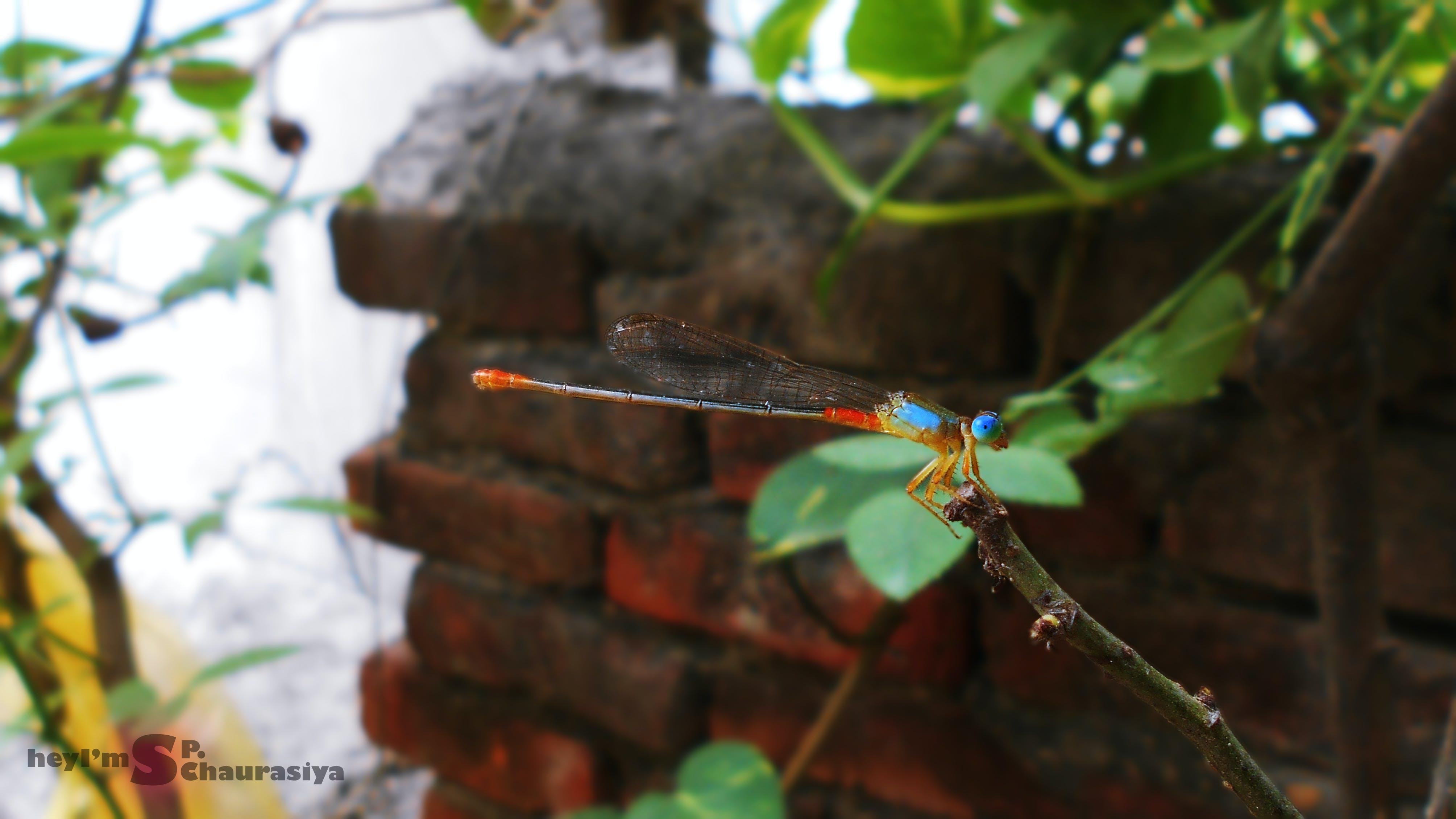 Free stock photo of anamalia, blue insect, brick paving, colourful