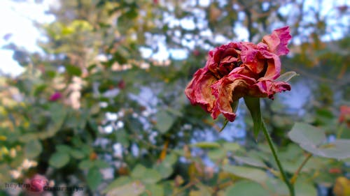 Gratis arkivbilde med blomst, blomstereng, død rose, grønn