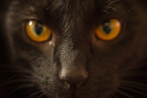 Základová fotografie zdarma na téma domácí mazlíček, kočka, lovec, oči
