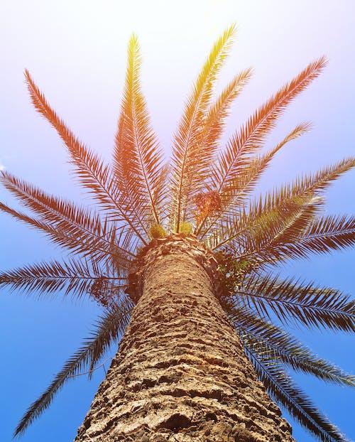 Kostnadsfri bild av palm, palmträd, solsken