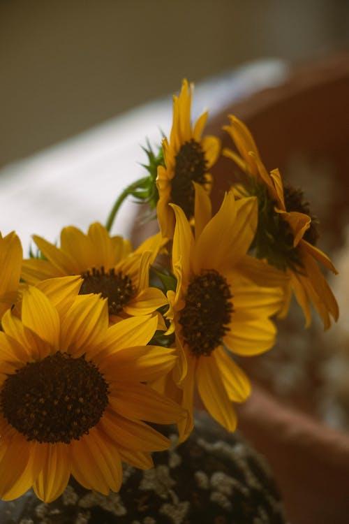 Free stock photo of sunflower, sunflower background, sunflower wallpaper