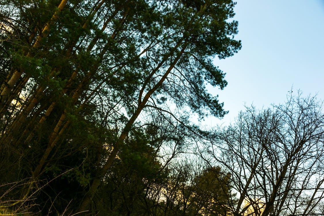 czyste niebo, drzewa, drzewo iglaste
