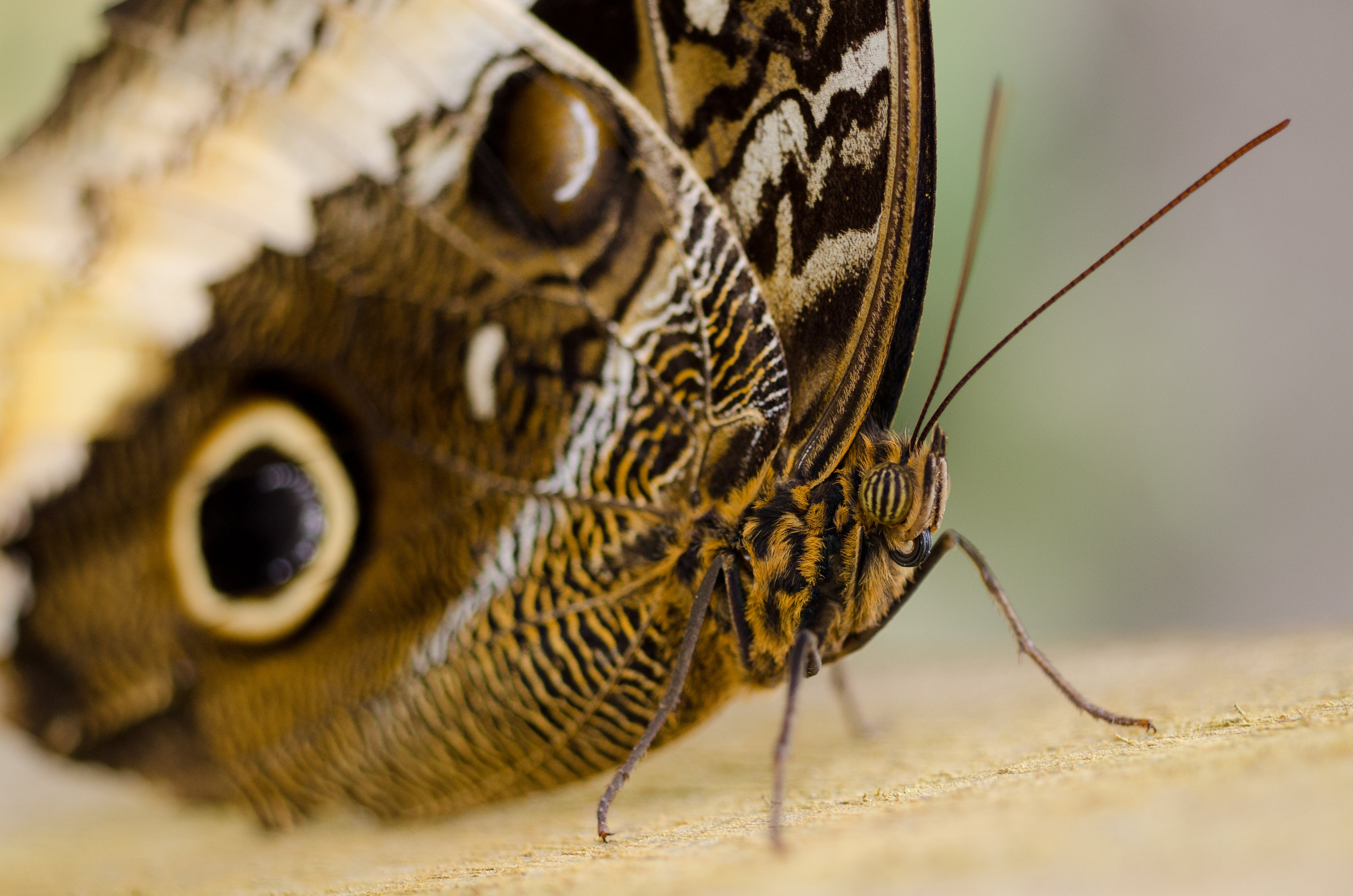 butterfly, closeup, insect