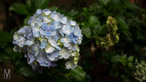 Gratis arkivbilde med blå blomster, blomsterbukett, grønt blad