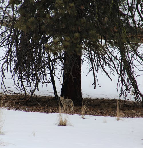 Kostnadsfri bild av prärievarg, vinter
