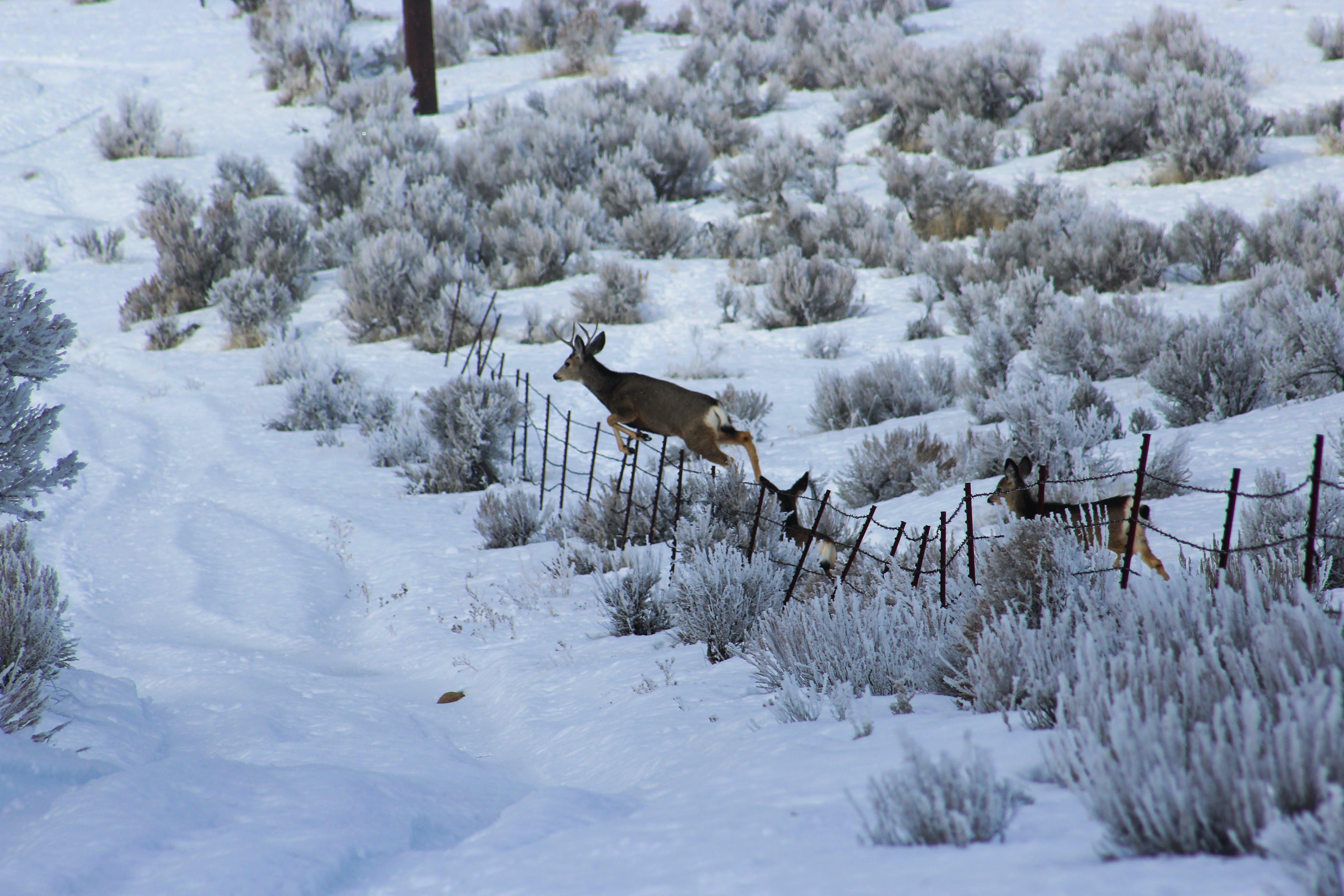 Free stock photo of buck, deer, winter
