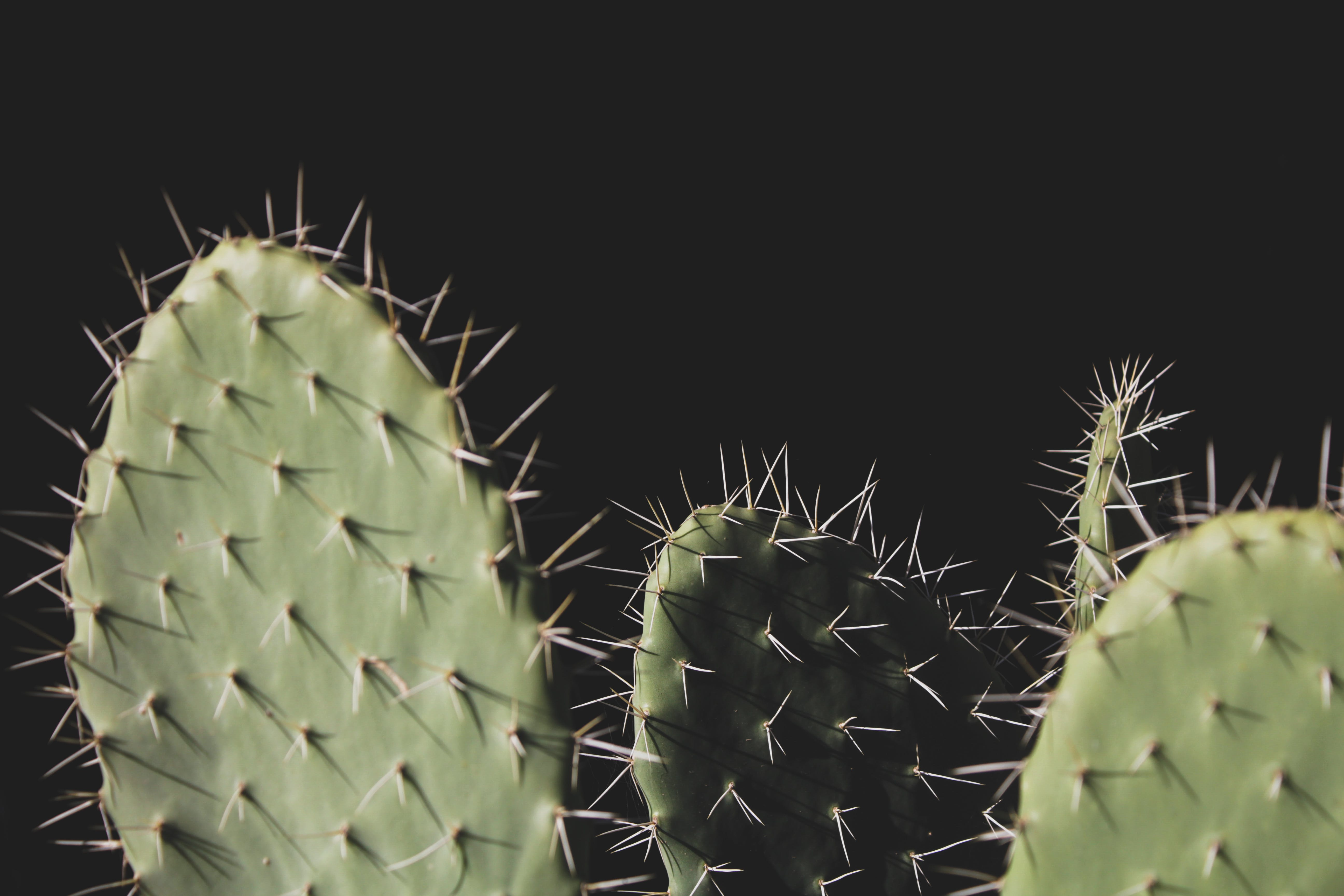 Close-up Photo of Three Green Cactus Plants