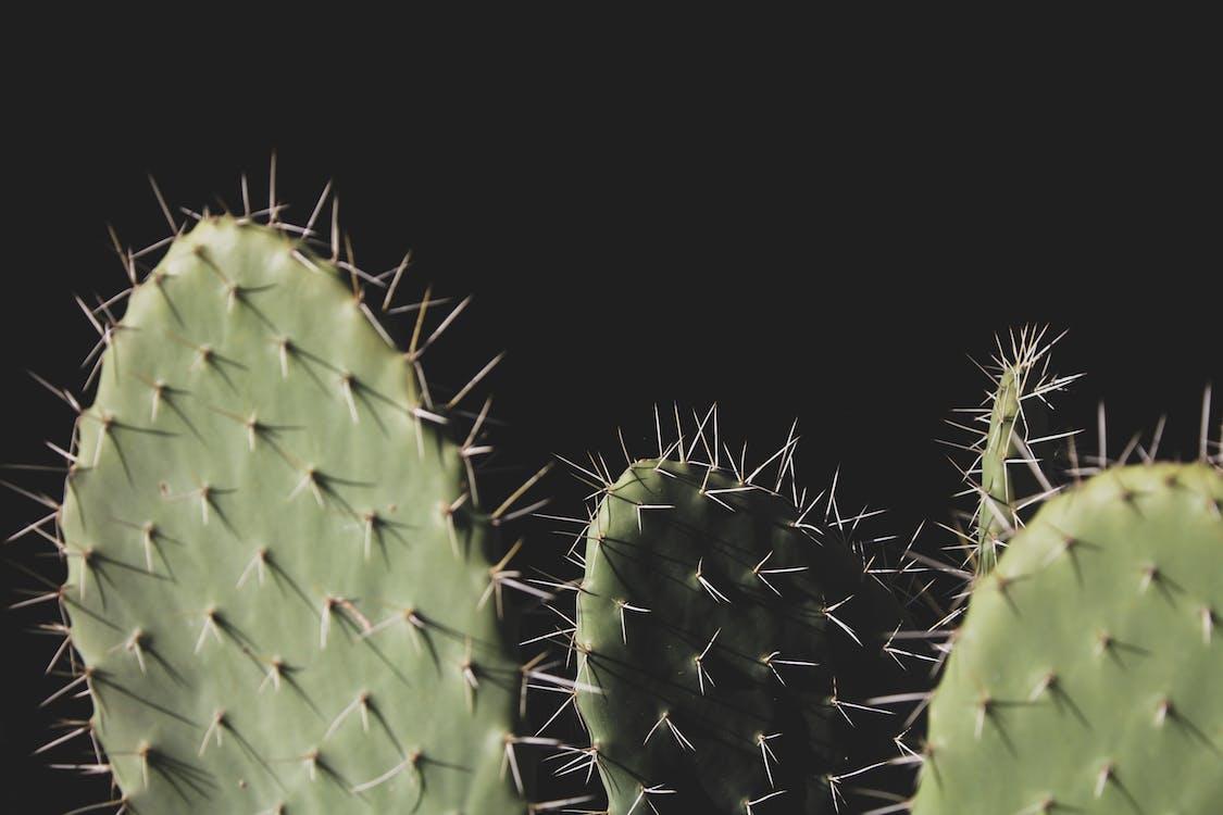 Close-up Photo of Three Green Cactus Plants