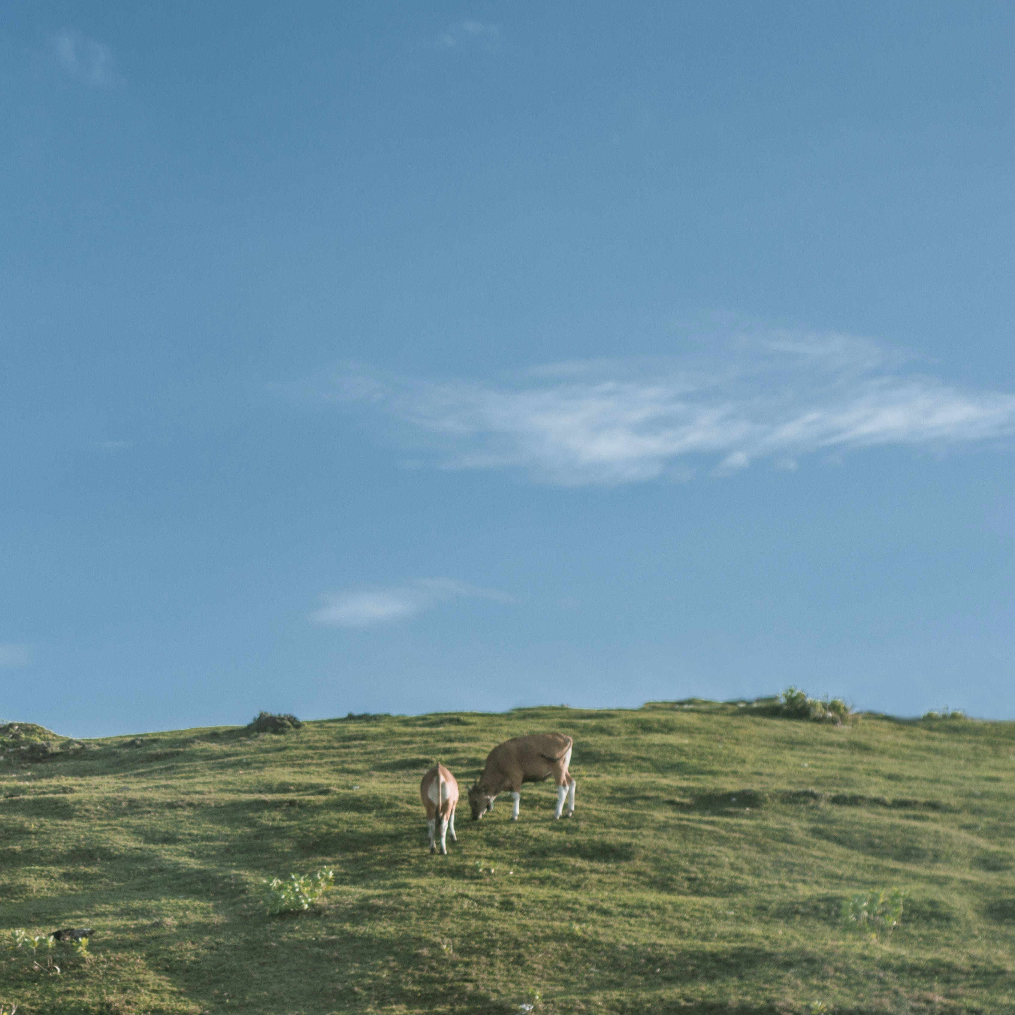 Two Brown Cows Near Green Grass Fields