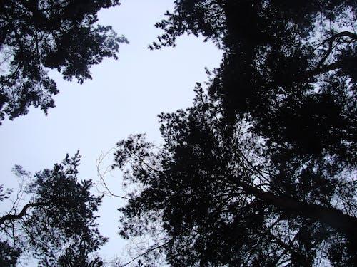 Ingyenes stockfotó ég, erdő, fák, fekete témában