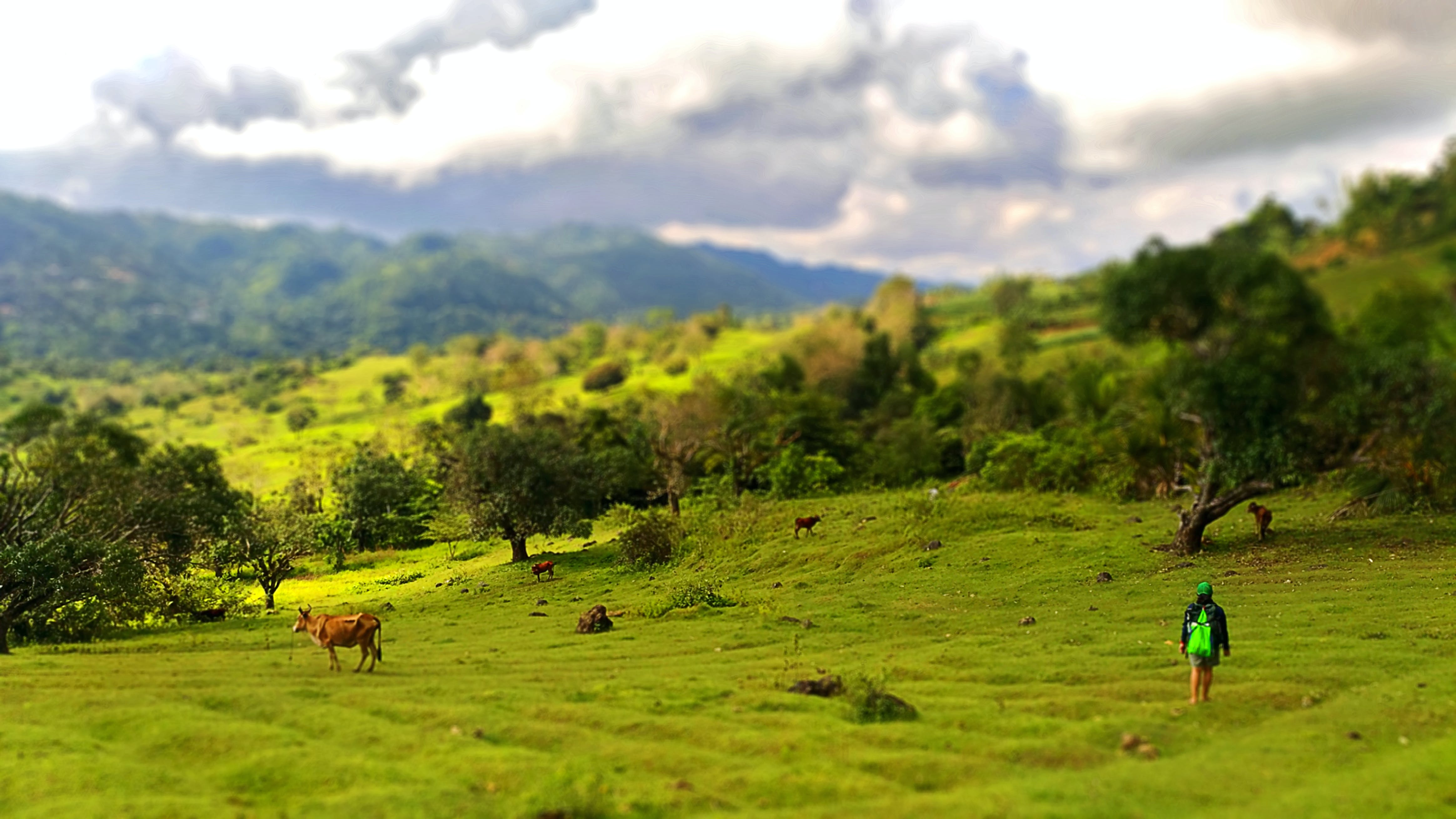 Free stock photo of cows, grass, green, landscape