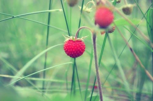 イチゴ, ベリー, ワイルドベリーの無料の写真素材