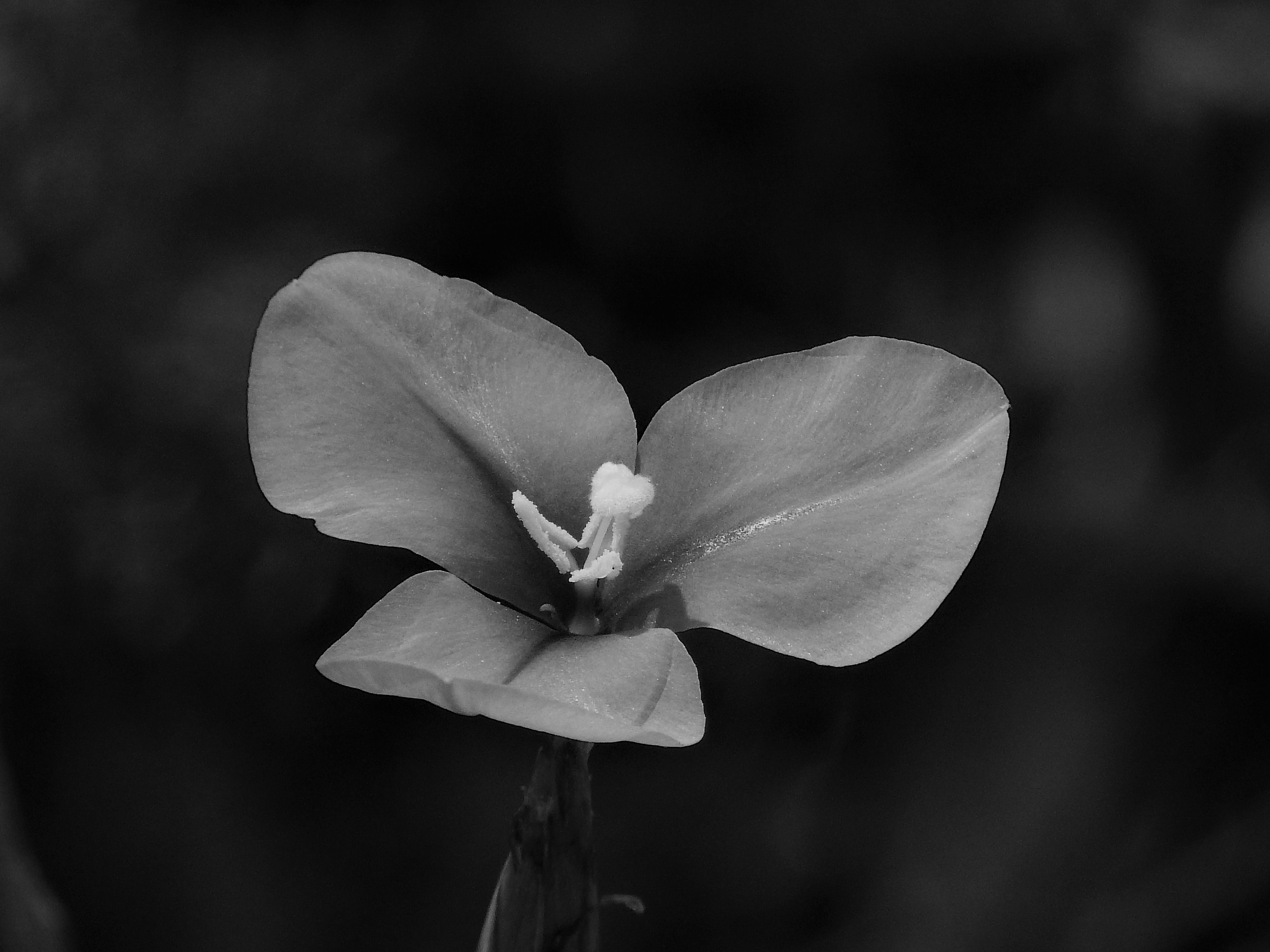 Grayscale Photography of 3-petaled Flower