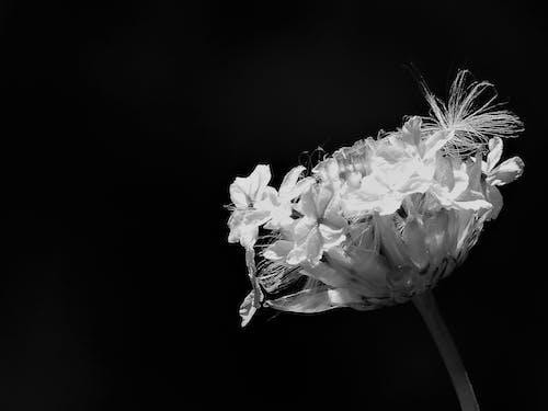 Ingyenes stockfotó botanikus, fekete háttér, fekete-fehér, közelkép témában