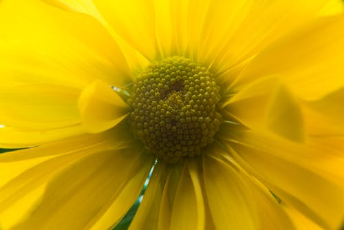 Yellow Daisy Flower in Close-up Photography