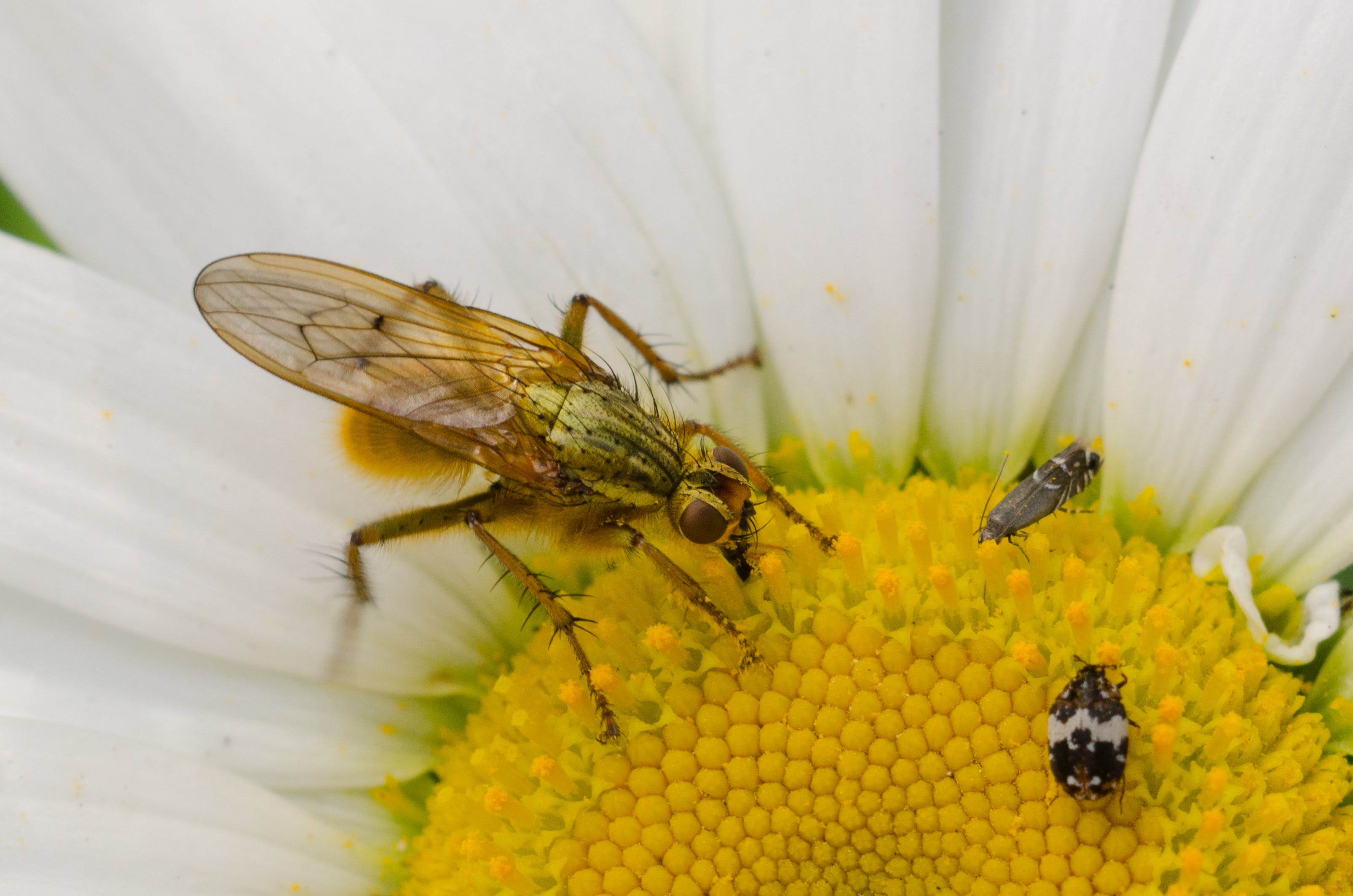 Close-up Photography of Brown Hoverfly Perching on White Daisy Flower