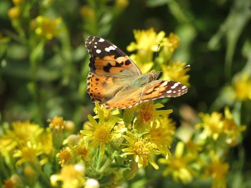 คลังภาพถ่ายฟรี ของ ธรรมชาติ, ผีเสื้อบนดอกไม้, มีสีสัน, สีเหลือง
