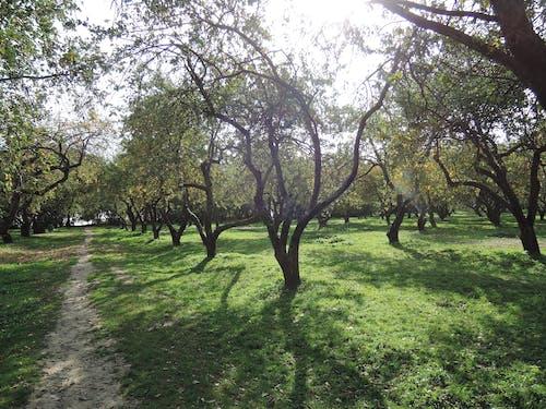 Free stock photo of apple garden, apple orchard