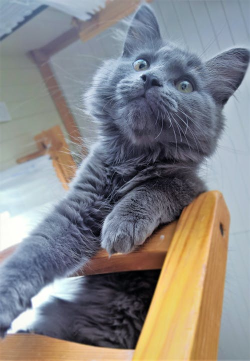 Free stock photo of cat, domestic cat, grey cat